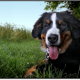 Why We Love Bernese Mountain Dogs
