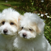 pair of white puppies
