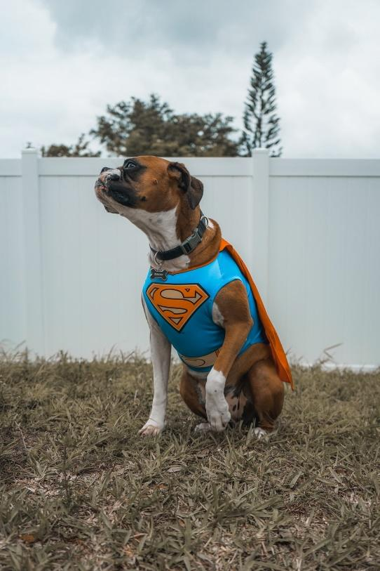 dog dressed up as superman for halloween