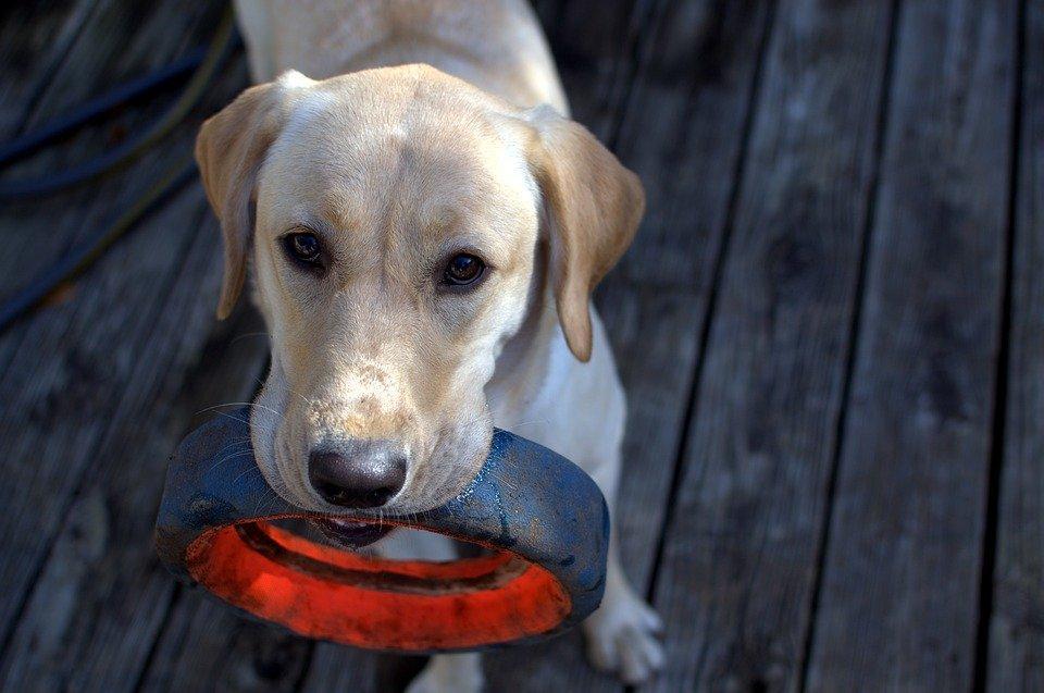 A Labrador playing fetch