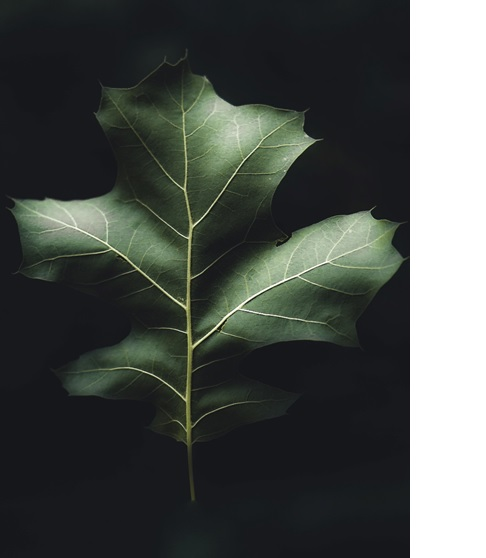 An example of fine art photography that focuses on the details of the subject – i.e.,  leaf.