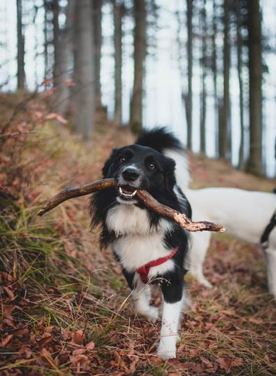 a-border-collie-with-a-branch-between-its-teeth
