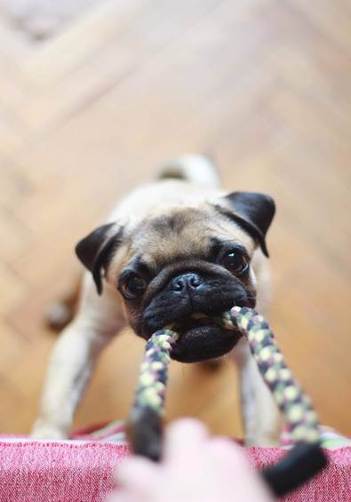 A Pug Pulling on A Leash With Its Mouth